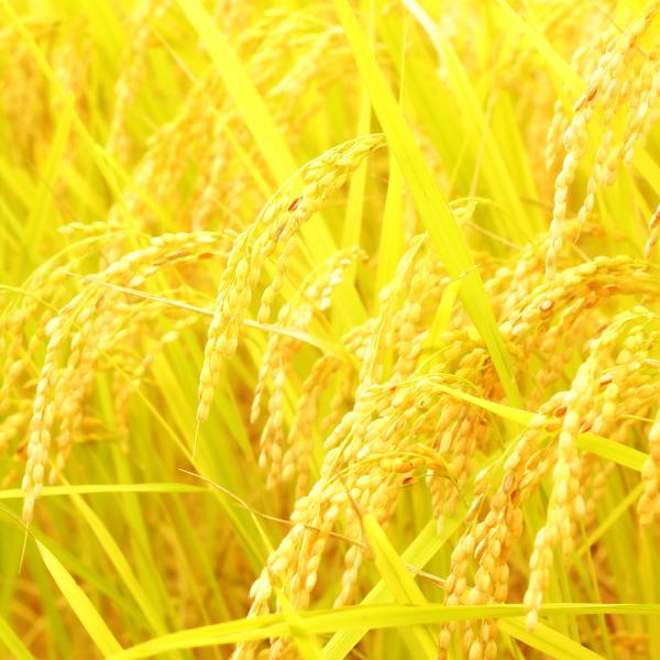 植物性タンパク質:ベジタミドR     セテアラミドエチルジエトニウム加水分解コメタンパク